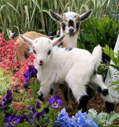 Baby goats playing in the flowers.