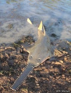 Sawfish... critically endangered species.....A strange-looking fish has snapped up a spot on the endangered species list. The smalltooth sawfish is the first U.S. marine fish to receive federal protection as an endangered species. Click into the website for more information on endangered and extinct creatures.