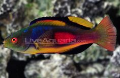 Fairy Wrasse Fish | Scott's fairy wrasse from Cook Islands is the quintessential ...