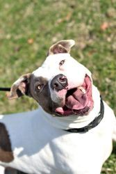 Matilda is an adoptable American Bulldog Dog in Augusta, GA. Matilda is a white with brown spots female American bulldog & pitbull mix. She's playful and happy and enjoys going on walks. She would mak...