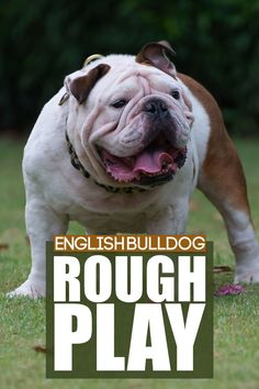 Does your English Bulldog puppy or dog play rough? Check out our latest video on how to address this behaviour with tips and insights. More awesome dog information at Fenrir Canine Show and Fenrir Canine Leaders. Training Your Dog, Training Tips, Dog Information, Getting A Puppy, Medium Sized Dogs, Dog Behavior, New Puppy, Latest Video, Dog Care
