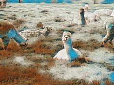 Alpaca in the meadow.   Made by Alet