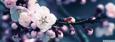 flowers cherry blossoms 6 facebook cover