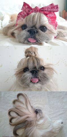 Que faire pour prendre soin, tout en s'amusant, des longs poils de son croisé shih tzu-pékinois ? Yuki, une jeune japonaise, a trouvé la solution : elle coiffe régulièrement le pelage de sa chienne Kuma et poste les résultats sur son compte Instagram.