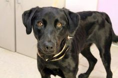 Wilson: Black retriever beauty is out of time at high-kill upstate shelter RESCUED
