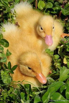 ˚Ducklings