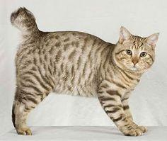 Bob Cat Breed