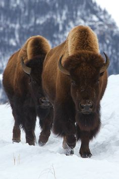 The Mighty Bison...living along side Native Americans long ago. http://www.pinterest.com/mrblackisback/