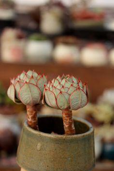 Succulent -
