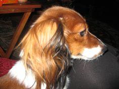 Red_piebald_dox_miniature_long_hair