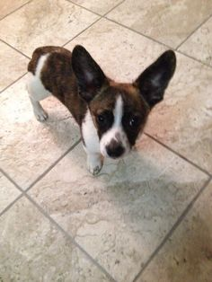 George is an adoptable Corgi searching for a forever family near Kentwood, MI. Use Petfinder to find adoptable pets in your area.