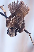A Northern Hawk Owl snaps from a perched position into a dive..Northern Hawk Owls possess keen eyesight, allowing them to locate prey the size of a vole from a half- mile away. PaulBannick.com