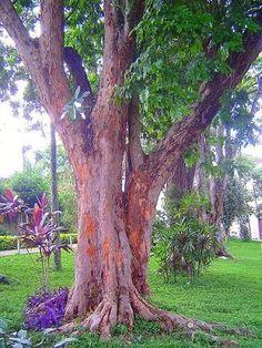 Árvore pau-brasil
