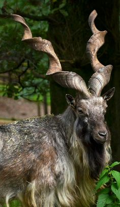 The markhor is the national animal of Pakistan. The markhor, is famous for its heavily coiled horns, which can grow to lengths of up to one and a half meters. A very good picture of this animal showing so much detail. Animals With Horns, Animals And Pets, Funny Animals, Cute Animals, Animals Planet, Strange Animals, Unusual Animals, Cabras Animal, Mundo Animal