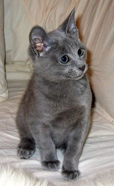 russian blue cat | Animals Cats Dogs Birds News » Blog Archive » Russian Blue Cat