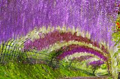 Imagine the UNREAL natural smell of these beautiful flowers while walking through the Wisteria Tunnel in Kitakyushu, Japan?!