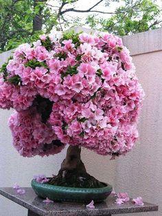 Bonsai baum rosa blüten kleine gärten ideen geeignet