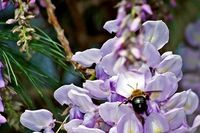 How to Grow Wisteria in a Pot | eHow