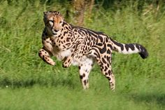 King cheetah in motion ! Small Wild Cats, Big Cats, Cool Cats, Animals Of The World, Animals And Pets, Cute Animals, Wild Animals, Baby Animals, Most Beautiful Animals