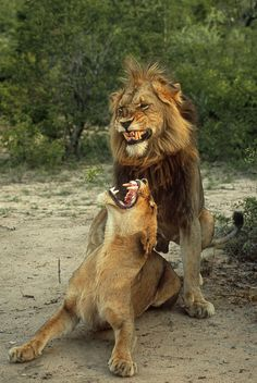 """Fang-tastically Gnarly ∞ Rudi Hulshof Note from the photographer: """"Lion expressions when mating are well worth a photograph. Big Cats, Cool Cats, Cats And Kittens, Animals And Pets, Funny Animals, Cute Animals, Baby Animals, Beautiful Cats, Animals Beautiful"""