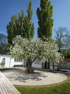 Äppelträdet i full blom