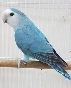 Love Birds Pet, Cute Birds, Pretty Birds, Beautiful Birds, Tropical Birds, Exotic Birds, Pigeon Pictures, Horse Pictures, Canary Singing