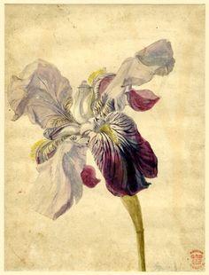 birdsong217:  Jan Van Huysum (Dutch, 1682-1749) Iris Variety, 18th century