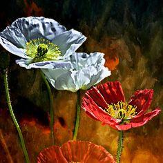 dancewithme1223:  California Poppy