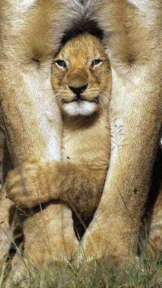 Oh yeah. My Daddy will kick your butt! Cute Baby Animals, Animals And Pets, Funny Animals, Beautiful Cats, Animals Beautiful, Gato Grande, Cute Animal Pictures, Spirit Animal, Big Cats