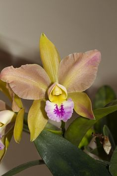 ORQUIDEA CACL by RODRIGO CAICEDO LÓPEZ, via Flickr