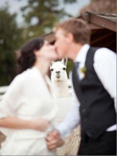 Ok now I have to find somewhere with Llamas/alpacas for my wedding Awkward Wedding Photos, Awkward Family Photos, Wedding Pictures, Funny Shit, The Funny, Funny Memes, Daily Funny, Photoshop Fails, Alpaca My Bags
