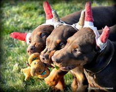 #Doberman #puppies