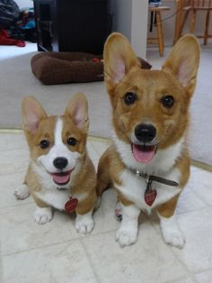 Corgi friends