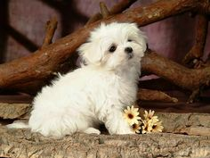 Cute Puppies Cuddly Fluffy Maltese Puppy - find quality goodies for your canine friend over at http://AnimalInstinct.co.uk/?utm_source=pinterest&utm_medium=pin&utm_term=dogs&utm_content=desc&utm_campaign=cutepetpics #Dogs