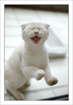 #funny #cat #laughing cat #white cat