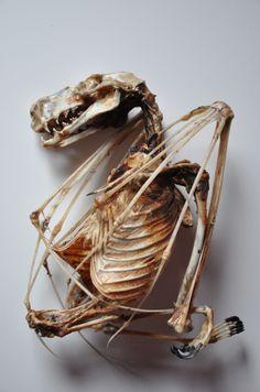 ewok-gia:    hammerhead fruit bat (Hypsignathus monstrosus)