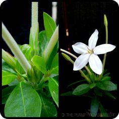 Augusta rivalis floral foliage + flower + form  #needleflower #augustarivalis #kartuznurseries #moongarden #hawkmoth #whiteflower