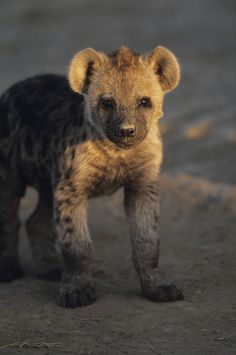 Baby hyena. Getty images