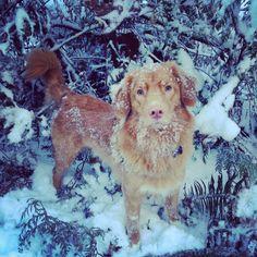 Beautiful shot, pups first snow. Boy Dog Names, Puppy Names, Best Dog Breeds, Best Dogs, Apartment Puppy, Big Puppies, Nova Scotia Duck Tolling Retriever, Dog Cat, Kittens
