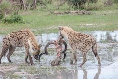 Hyenas finishing off the remains of their kill in a rain filled pan in Botswana. Images made at Chitabe lediba camp in the Okavango Delta Okavango Delta, Hyena, Camps, Lodges, Wilderness, Safari, Wildlife, Rain, African