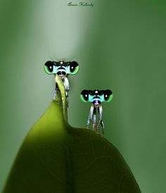 Amigos by Aroon Kalandy, a blend of two images of a damselfly Cool Insects, Bugs And Insects, Beautiful Creatures, Animals Beautiful, Cute Animals, Baby Animals, Regard Animal, Mantis Religiosa, Cool Bugs