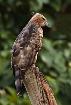 El águila-azor de Wallace (Nisaetus nanus anteriormente en el género Spizaetus ) es una especie de ave rapaz diurna de la familia Accipitridae. Habita en bosques húmedos de Borneo, Sumatra y la península de Malaca.