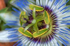 Πασσιφλόρα  λουλούδι του Πάθους (Passion Flower)