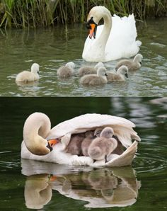 Mother swan and her young http://ift.tt/2sFIH9F