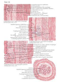 Stratified Squamous Epithelium, Zigzag Line, Anatomy And Physiology, Blood Vessels, Study Materials, Human Anatomy, Plexus Products, Human Body