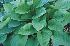 Hosta Fortunei Hyacinthina (Plantestedet 40 kr)  Hosta med hjerteformede grågrønne blade og lavendelfarvede blomster i juli-august. Sport af Hosta Fortunei. Placeres bedst i sol til skygge. Plantestørrelse large med en højde på 60-70 cm.