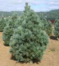 Pine/ Vanderwolf | Pinelane Nursery A dense, broad pyramid in youth, becoming a low, broad, flat topped tree at maturity. The pine needles are silvery bluish green and very attractive.