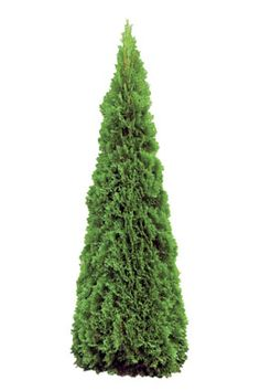 Growing emerald green arborvitae is a popular option to help you screen your home from prying eyes. This Buzzle article tells you how to care for your large conifers so that they keep looking beautiful and healthy.