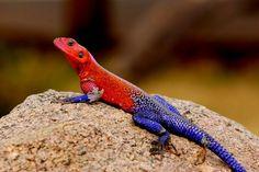 ¿Spiderman? No, Agama mwanzae (un lagarto bicolor) Estas fotografías se pueden ver diferentes ejemplares de la especie de lagarto Agama mwa...