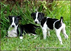 Lenny & Mike - Arilyn's foster dogs black and white dog breeds | Black-and-white Rat Terriers